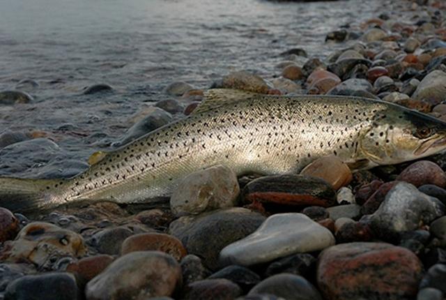 Fiskedissektion - Limfjordsmuseet i Løgstør